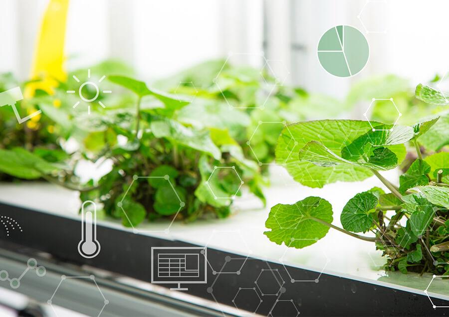 遠隔栽培管理技術を活用した植物工場でのわさび栽培