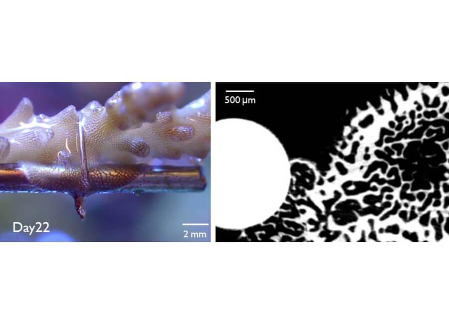 サンゴの高効率増殖技術でCO2固定化を目指す