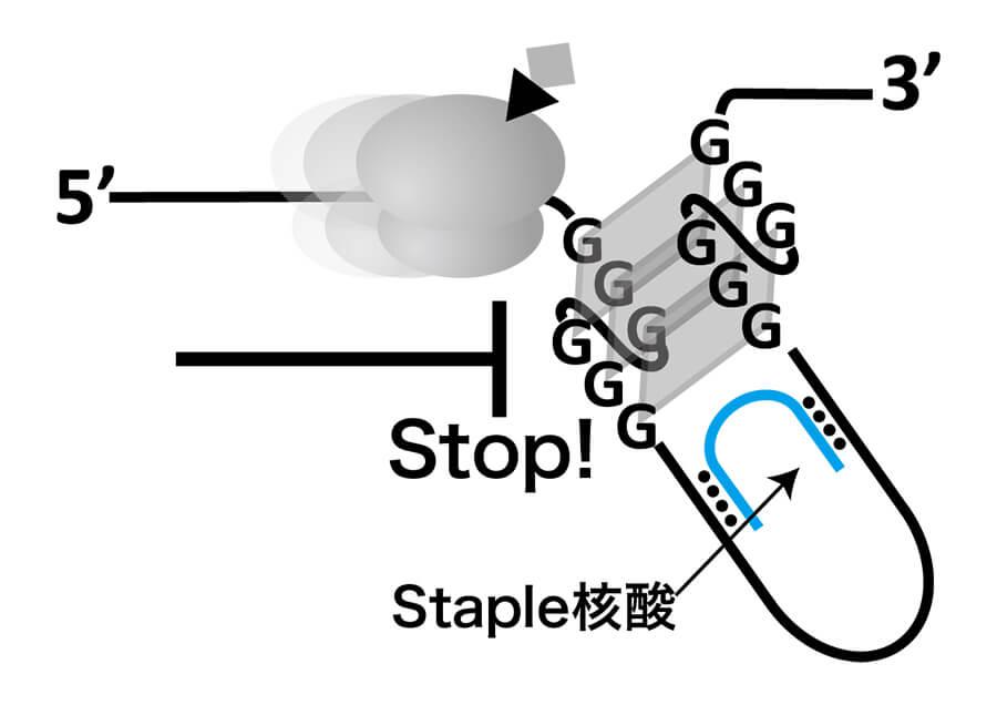 Staple核酸による遺伝子治療